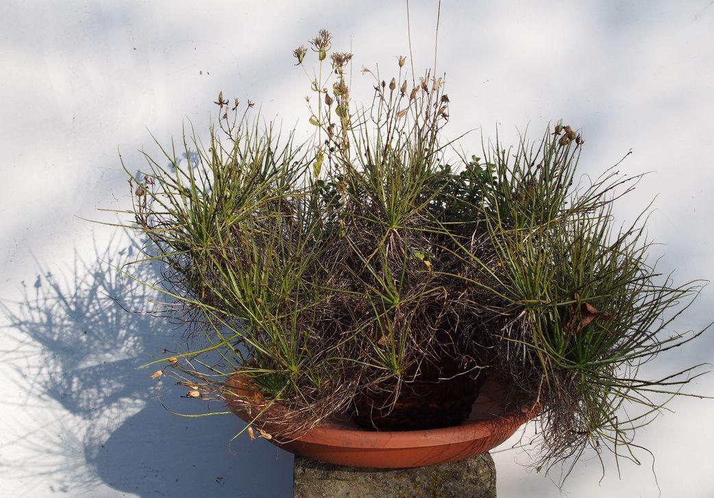 Drosophyllum-Nov.2017-00.thumb.jpg.4dae4fea9e019e6737d97eb1e6848d3e.jpg
