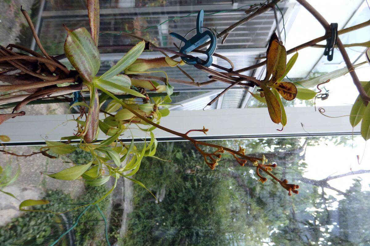 Nepenthes_pervillei_200617_2.jpg