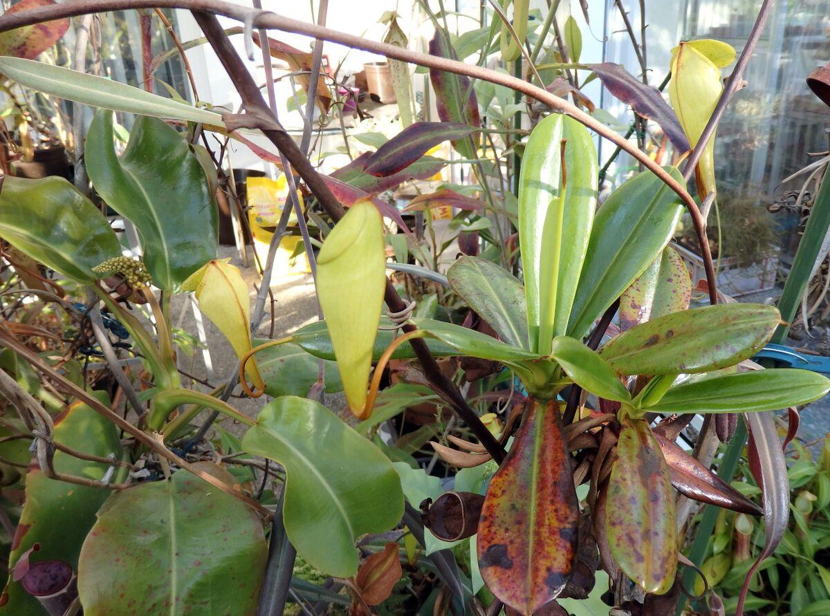 Nepenthes_pervillei_210517_3.jpg