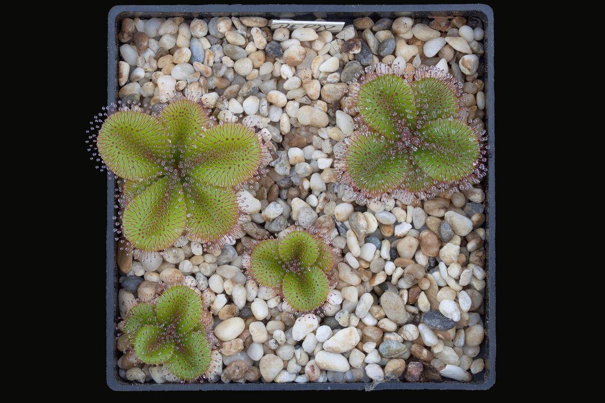 5a3678c0197fb_Droseraaff.erythrorhiza_.thumb.jpg.66cd8ce6cb200a6fad53450299e5d937.jpg