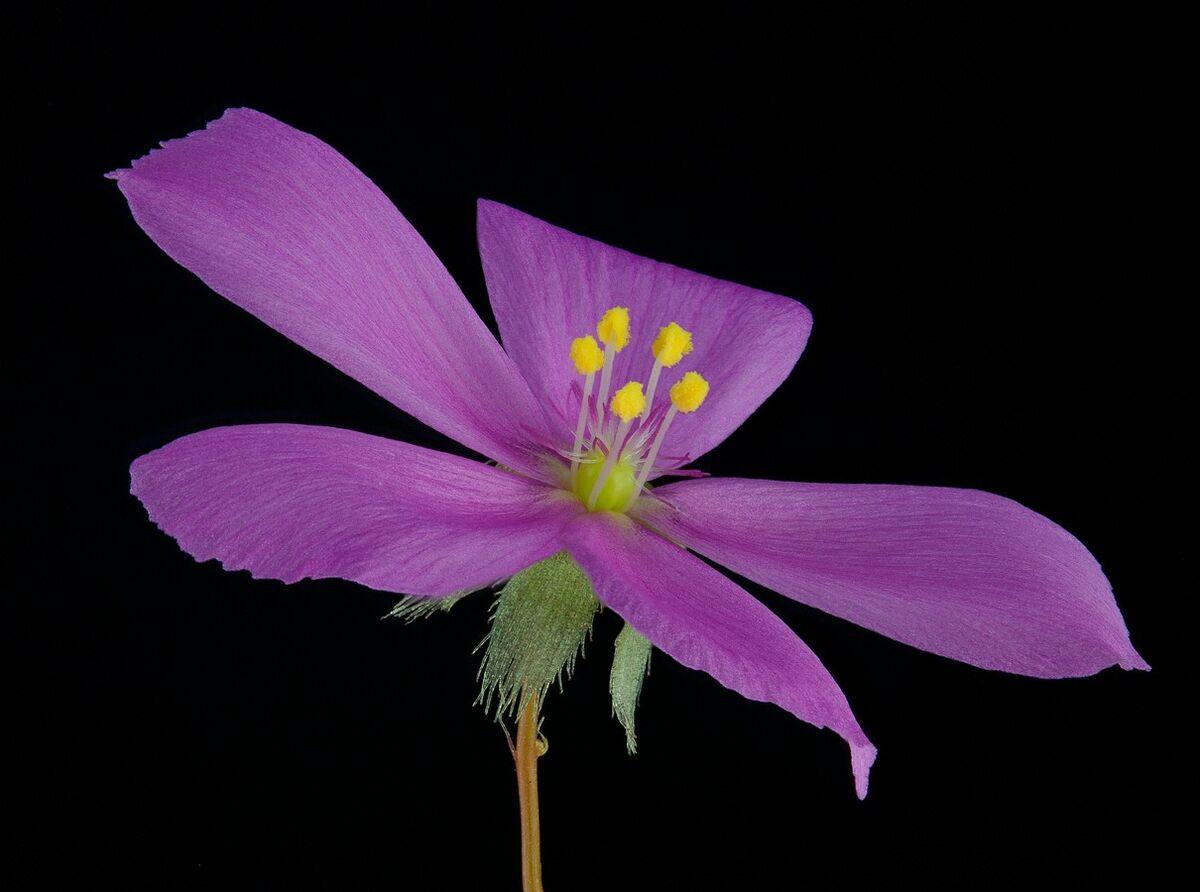 5a6e33248b2e6_Droserabasifoliaflower.thumb.jpg.796b31a6b85daab5beae9b09c6d62702.jpg