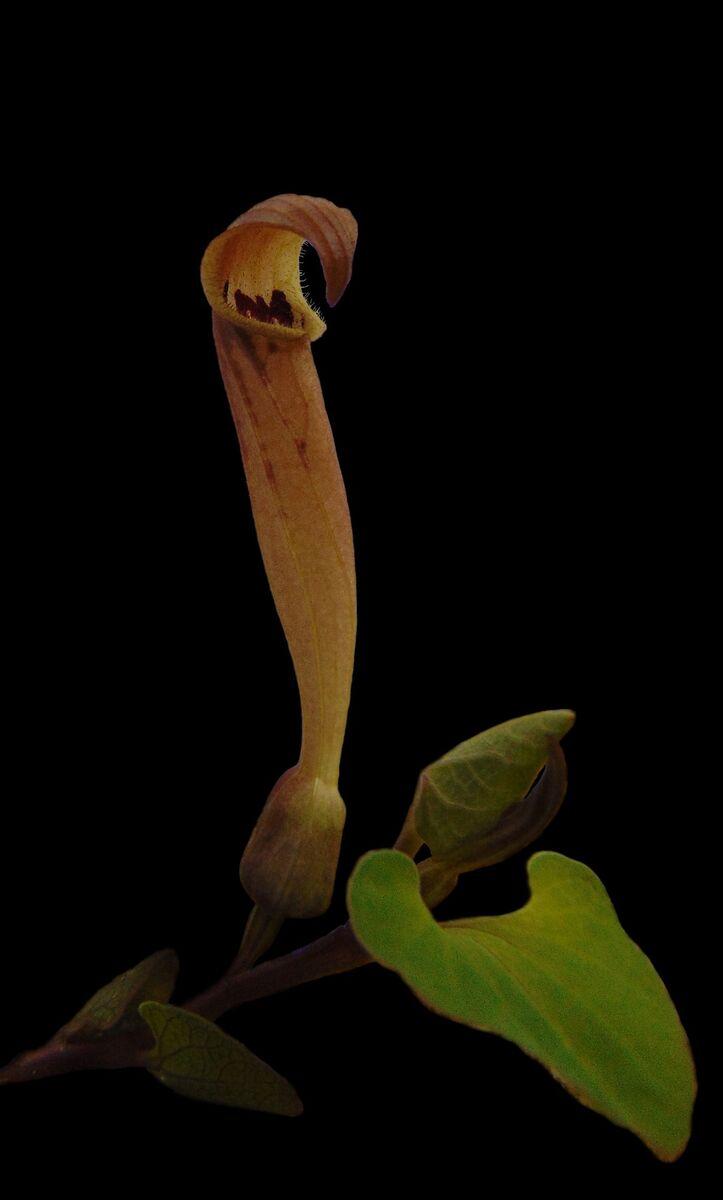 Aristolochia elongata 5.jpg