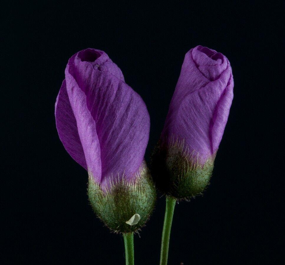 5a912d8c37a74_Droseramenziesiidoubleclosedflower.thumb.jpg.943c46b88244e86b905aef1c1d62a85e.jpg