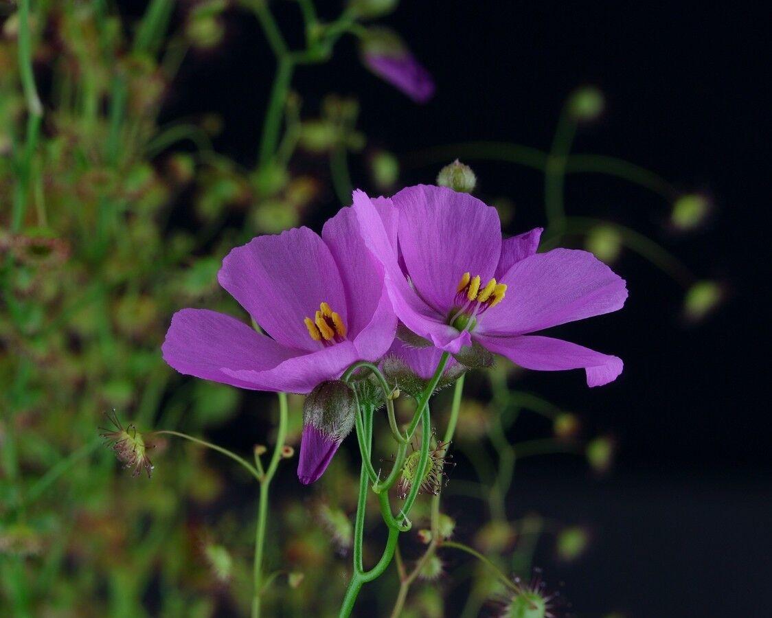 5a9131bcd0aee_Droseramenziesiidoubleflower2.thumb.jpg.6a64a76722ad438e9859a2f03abd7437.jpg