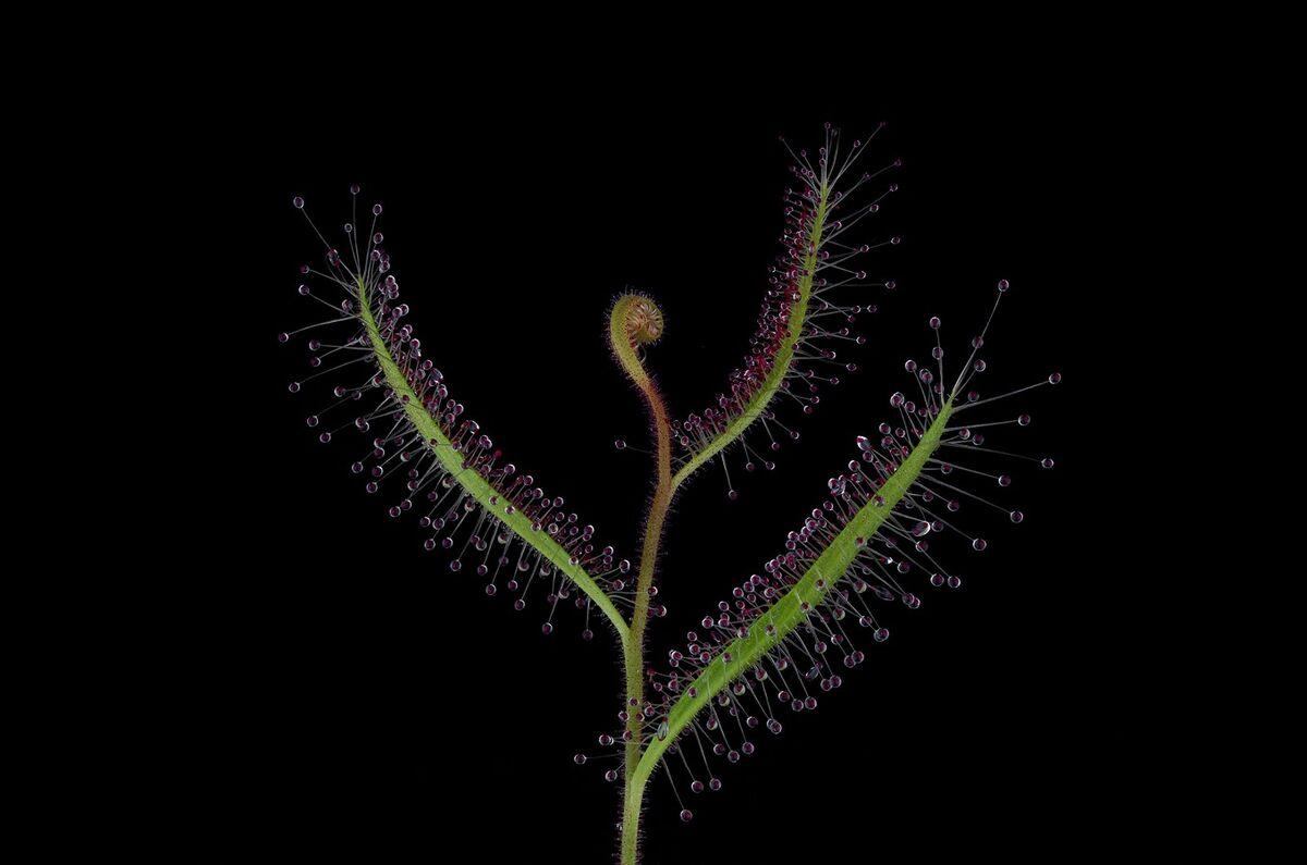 Drosera cistifolia.jpg