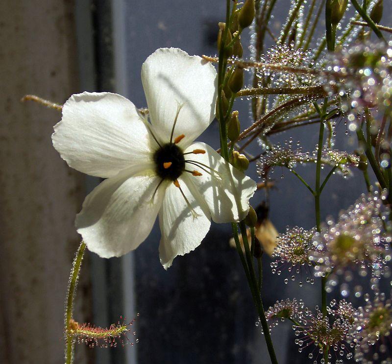 5aaff898bdaca_Dcistiflora.thumb.jpg.5687c4d40ebfde721b8d929e9a5ae784.jpg