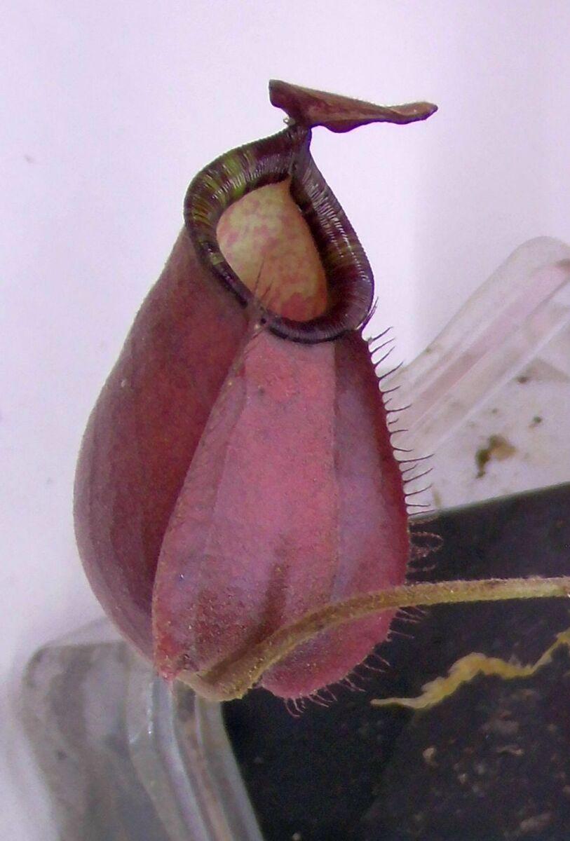 5abcf77cafde1_N(vikingxraffl)xampullariaBM02.thumb.jpg.62d77fd6dff697ed0c247d1f2a50d5b4.jpg