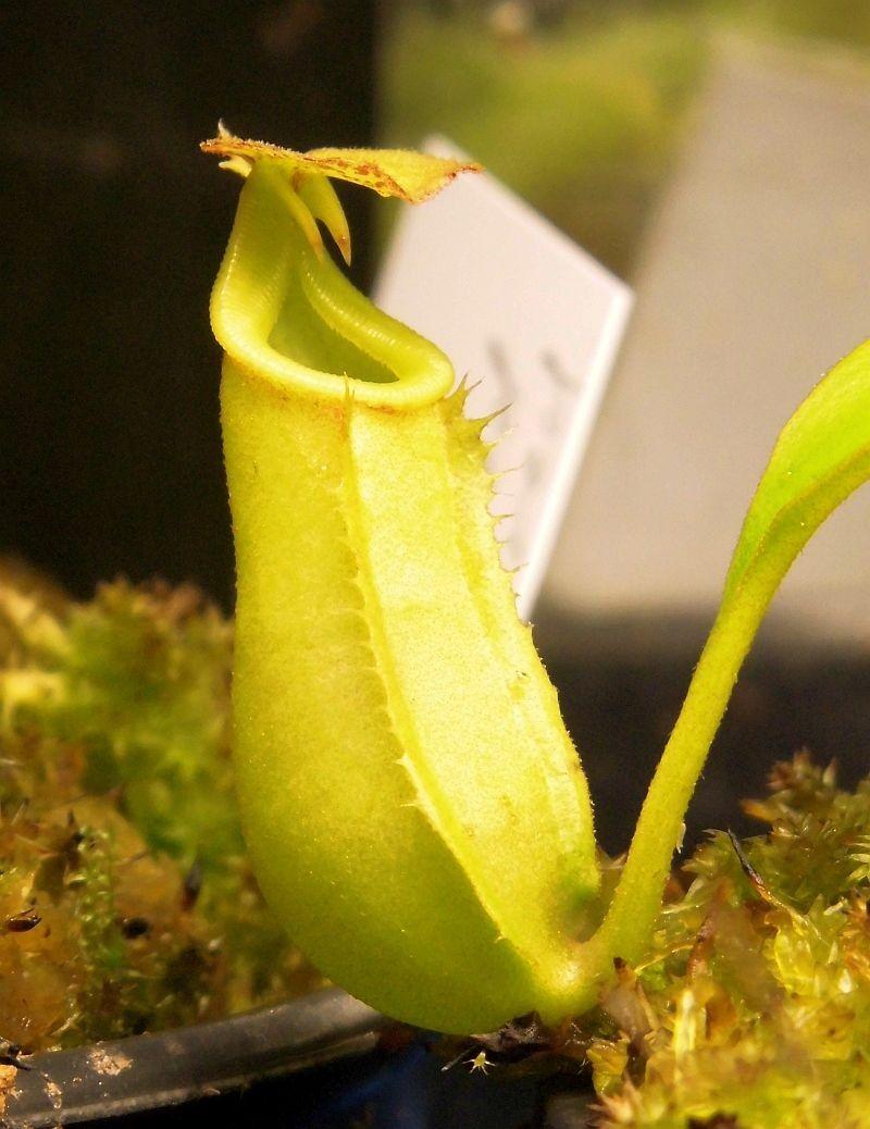 5abcf7fc7beb4_Nbiclcarataxampullaria003.thumb.jpg.9ae01a084130342f7434c4ac2ef16864.jpg