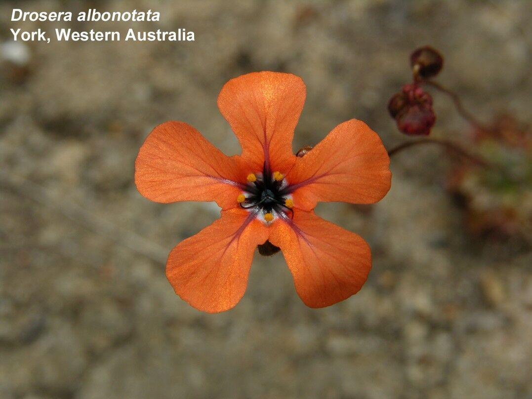 Dalbonotata6.thumb.jpg.724e527e93665f8b001cfe2b11b604d5.jpg