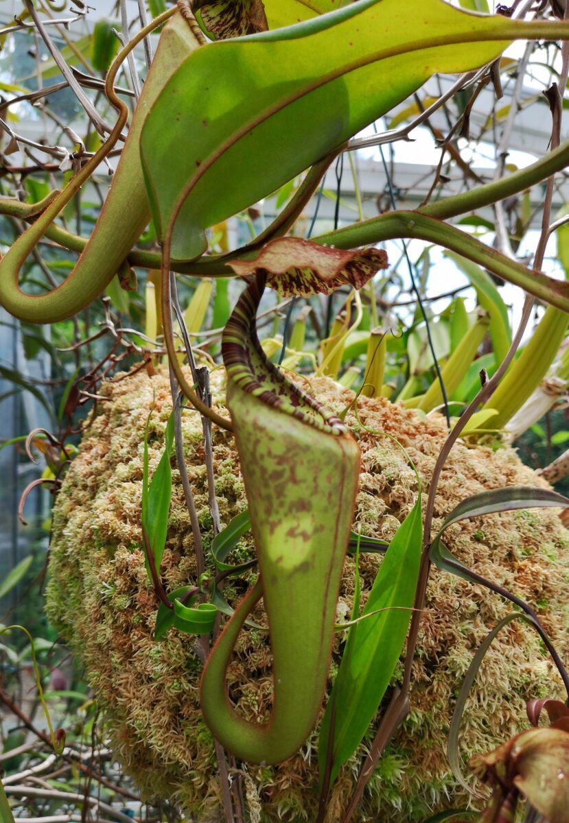 Nepenthes_eymaeXclipeata_1_290518.JPG