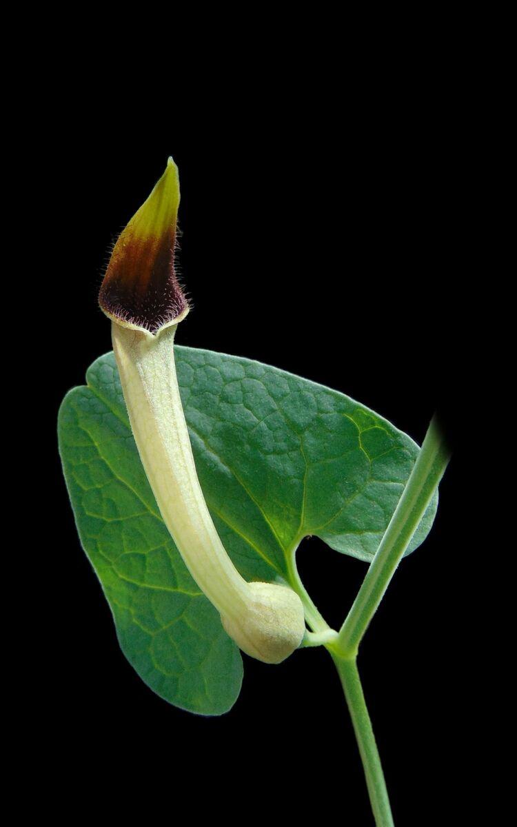 Aristolochia paucinervis.jpg