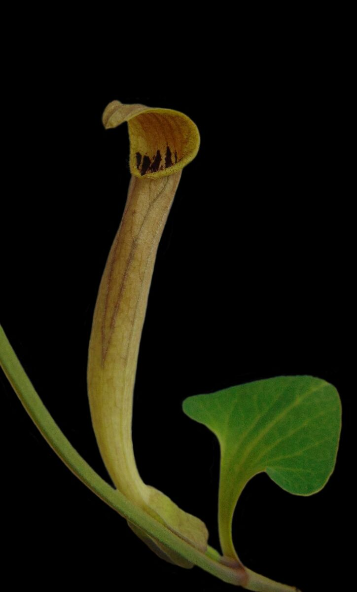 Aristolochia elongata.jpg