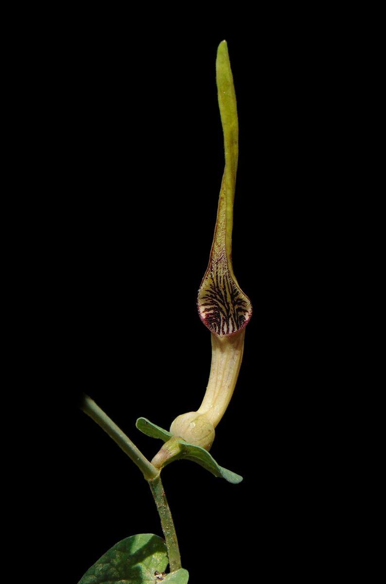 Aristolochia parvifolia.jpg