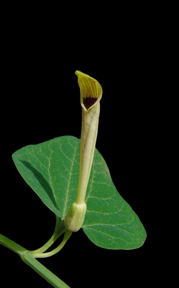 Aristolochia lutea (2).jpg