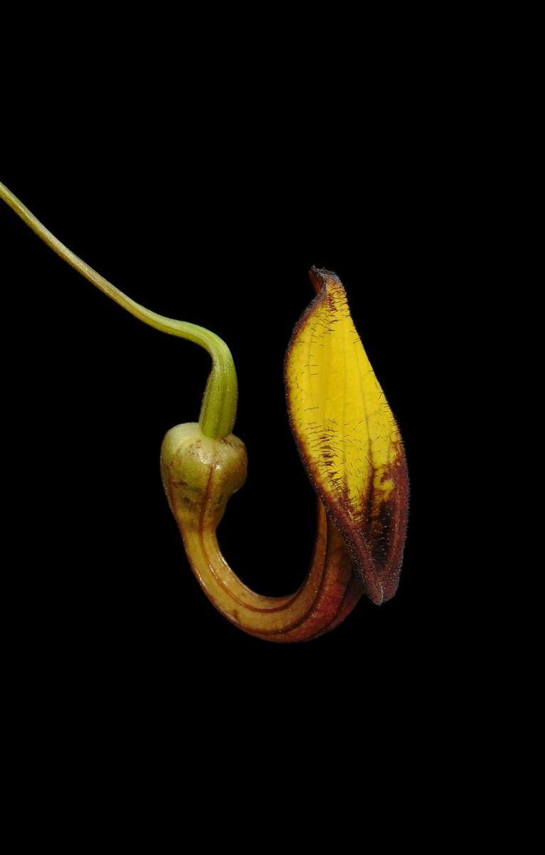 Aristolochia sempervirens.jpg