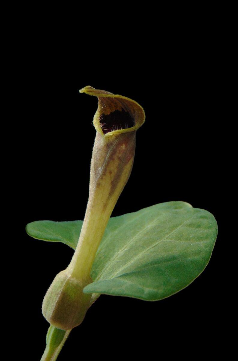 Aristolochia castellana.jpg