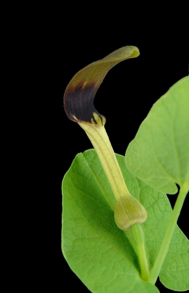 Aristolochia rotunda 1.jpg