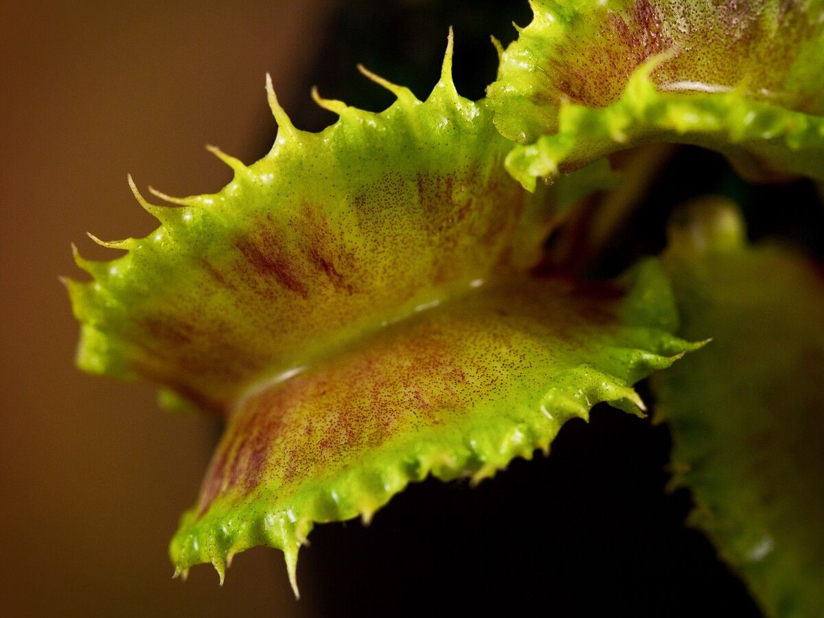 632095567_Dionaeaseedling2015(1).thumb.jpg.32f8ce1d85a567d7a18218ee5a77ea86.jpg