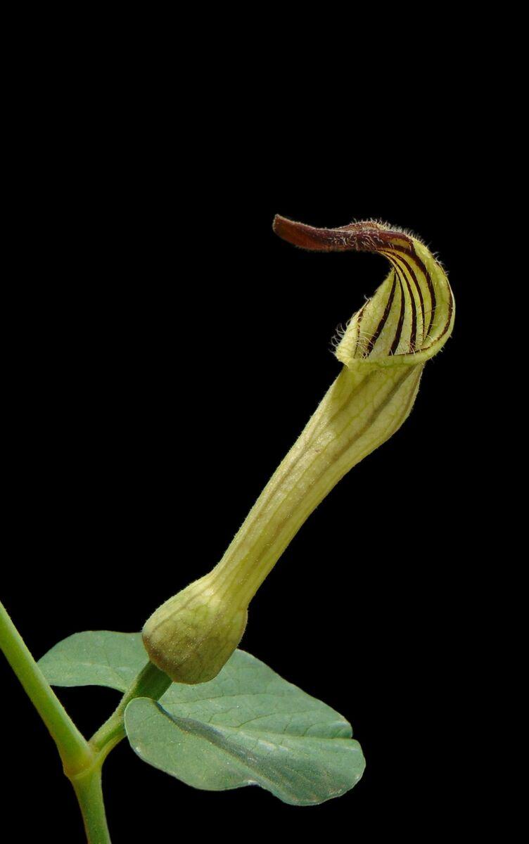 Aristolochia clusii.jpg