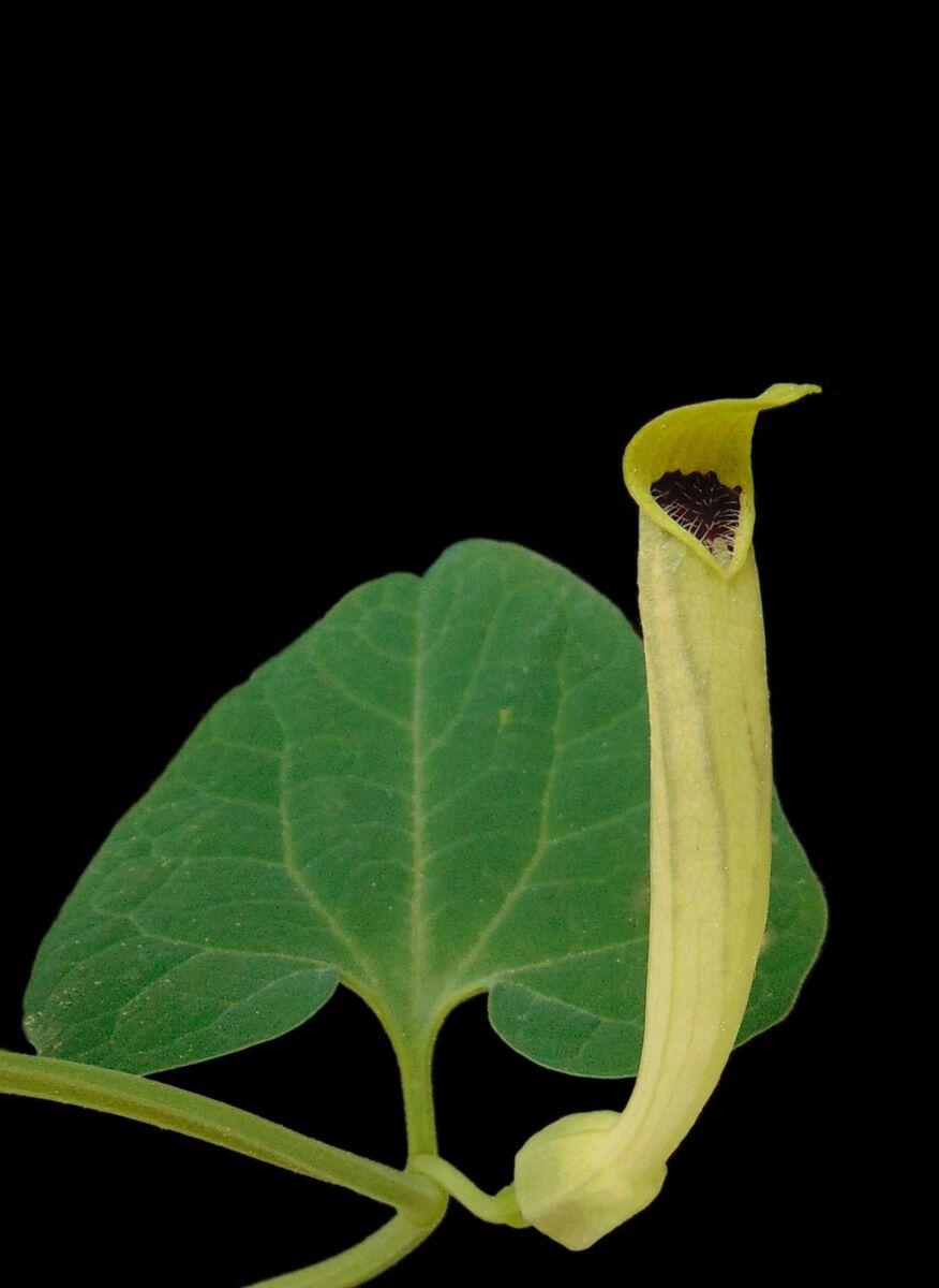 Aristolochia lutea.JPG