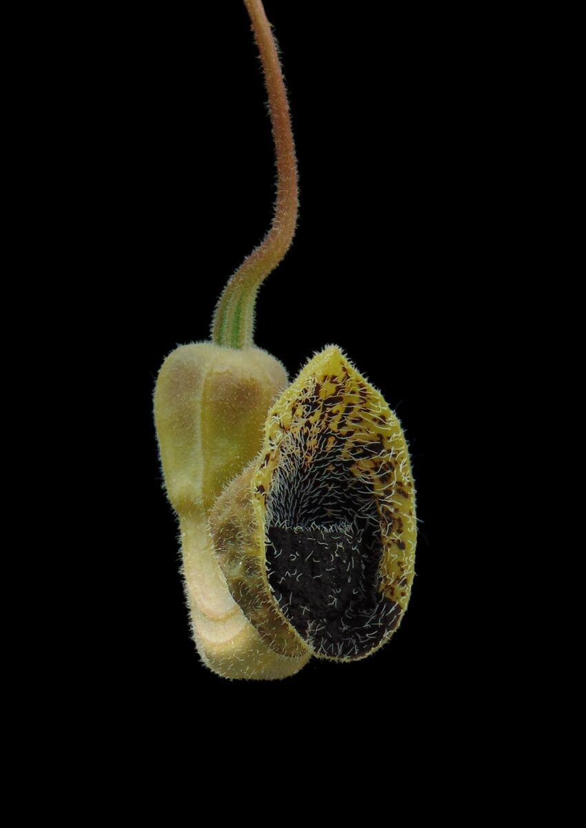 Aristolochia bodamae.jpg