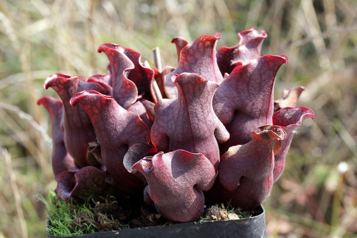 S. purpurea ssp. venosa seedgrown T Carow Herido 01.jpg