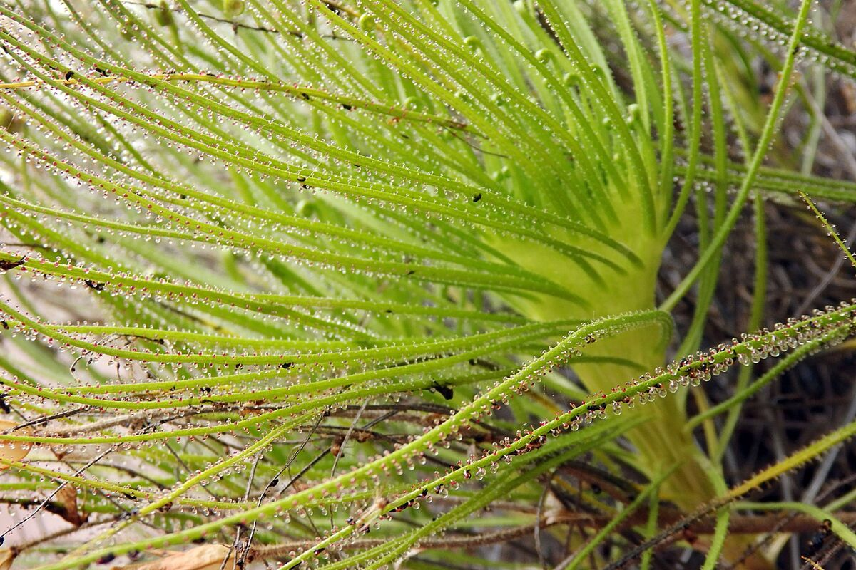 Drosophyllum_crestate_1_230918.JPG