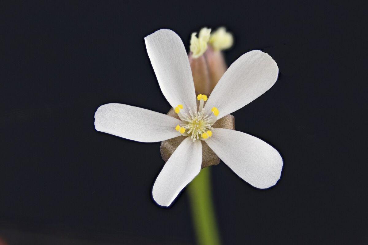 566418663_Droseraerythrorhizaflower.thumb.jpg.be2358093b70bdf33dee7dfe31df79bc.jpg