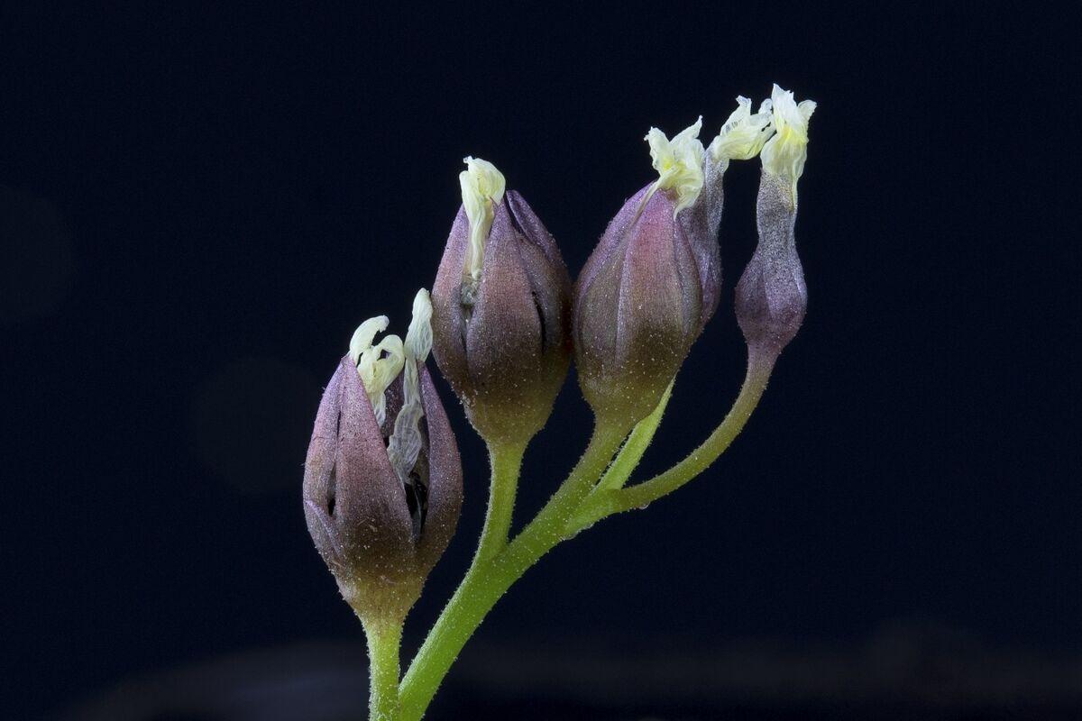 1070163224_Droseraerythrorhizawithseedpods.thumb.jpg.a6fda7b82e7d6f76906d683f2fe8409f.jpg