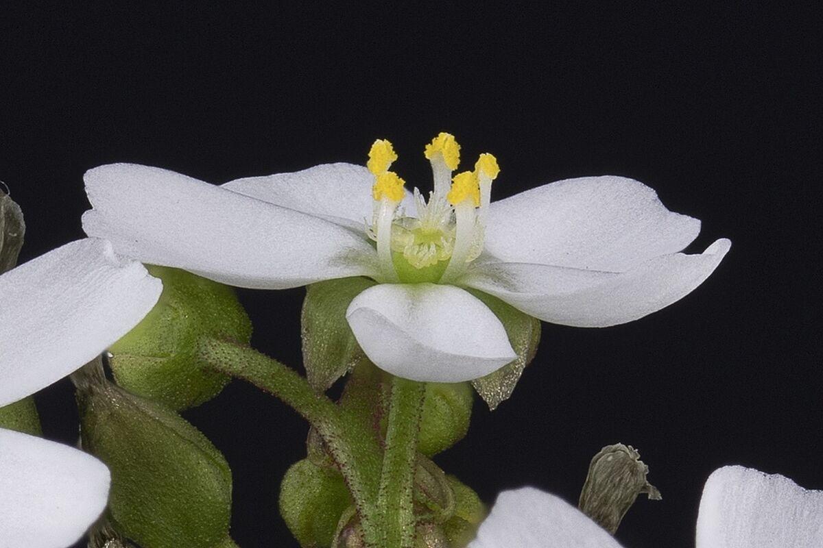 276587112_DroserastoliniferaoneflowerDSTO2.thumb.jpg.7970ed1fa759c8fd49cd482c27bf02c7.jpg
