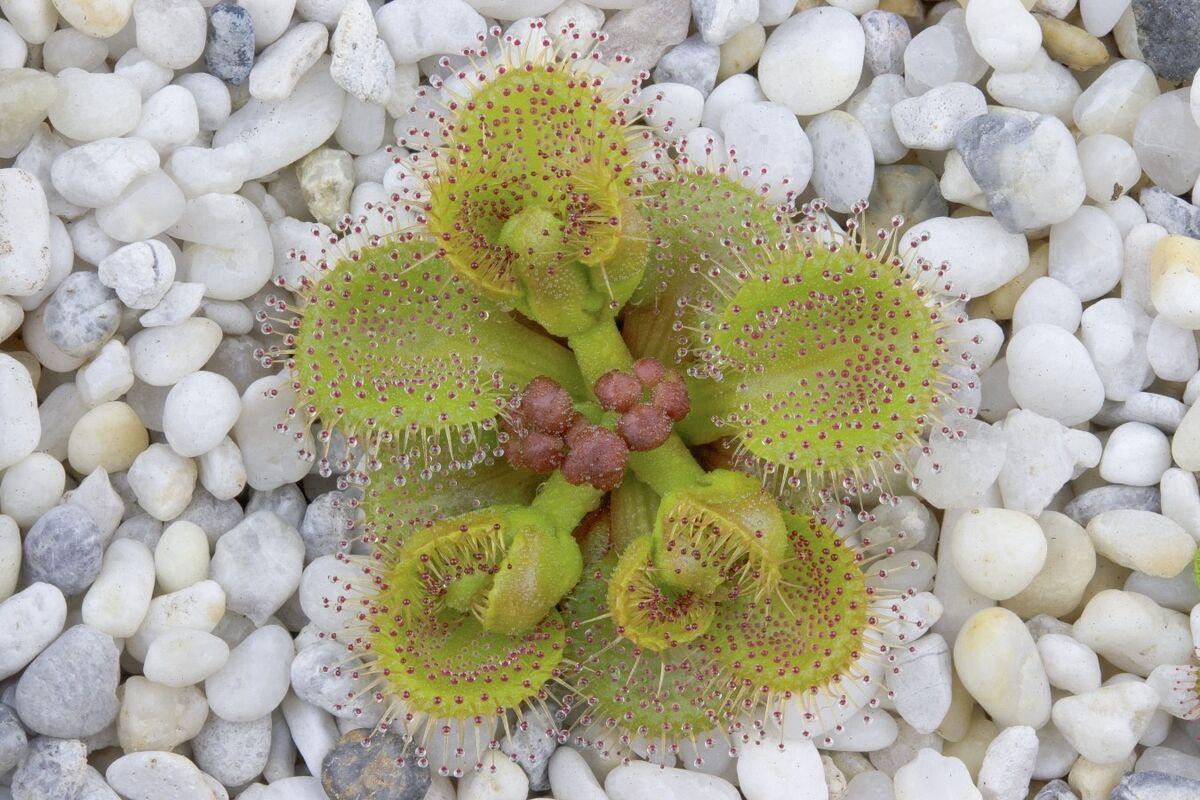 37655910_Droserarupicolawithflowerbuds.thumb.jpg.8b7b6c490b65ecd2cae48b3e544272db.jpg
