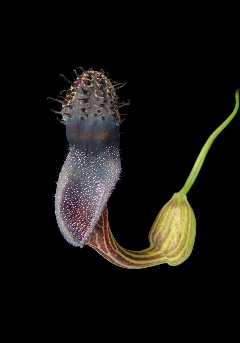Aristolochia sp. nov. Terra Nova do Norte.jpg
