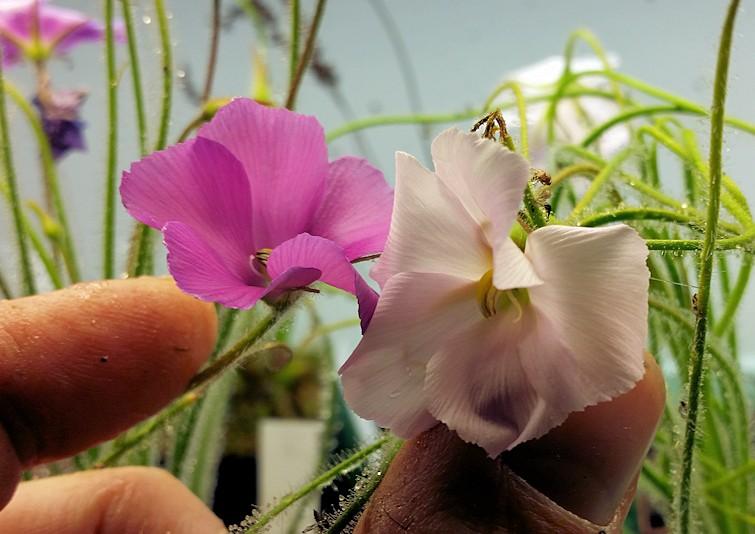 Byblis_gigantea_Perth_white_flower_0001.jpg.780b566b2e5333b830556c82be74b163.jpg