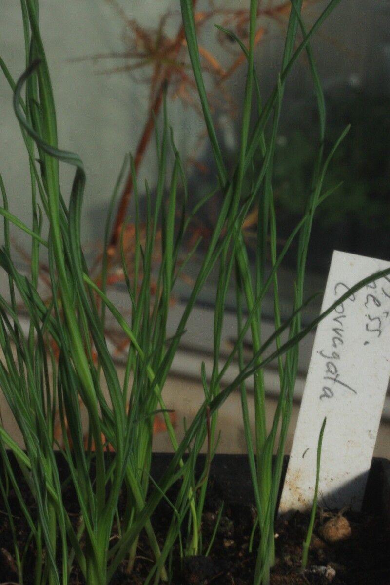 Geissorhiza_corrugata_0001p.thumb.JPG.b4f51ac56b05586aeb0598f31ee44f69.JPG