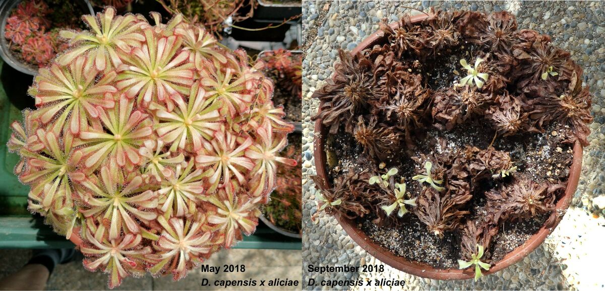 Drosera_capensisXaliciae_May&September_Collage.jpg