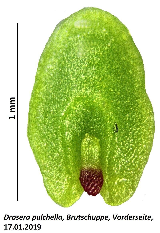 D.pulchellaBSab.jpg