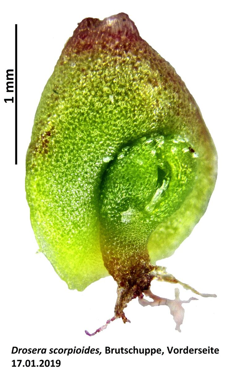 D.scorpioidesBSab.jpg