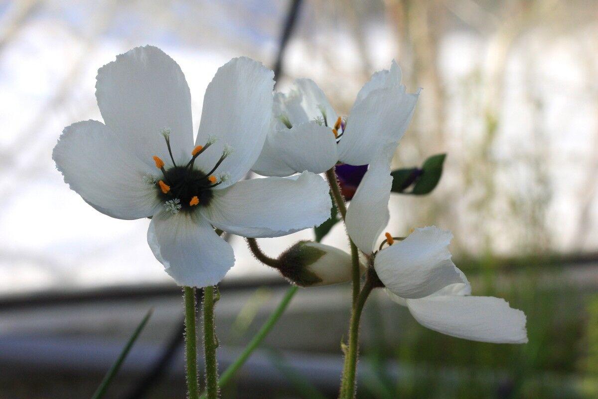D_cistiflora_whiteflower_0002p.thumb.JPG.00dfe33b0a4a8a0a50d80a6bc18d35ab.JPG