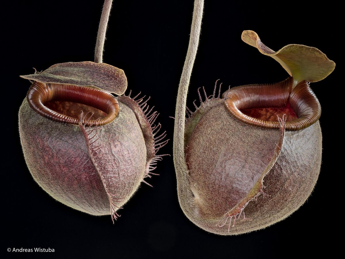 1819295361_Nepenthesundulatifolia-1.thumb.jpg.4bbe8fcb27eaf78d3434234e1cbb18ff.jpg