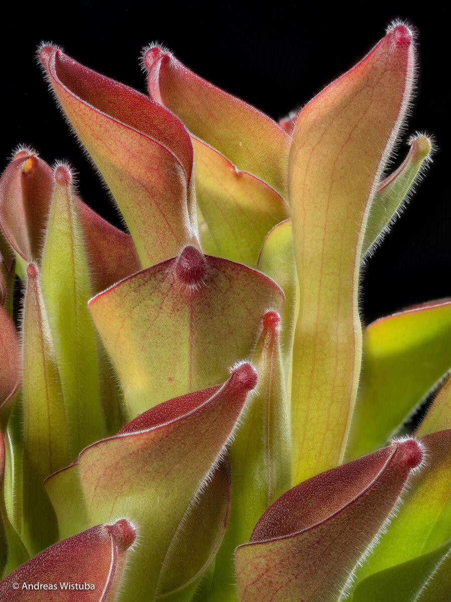 1068464120_Heliamphoraexappandiculata(Apacapa)-hairy-1.thumb.jpg.c2576a29ba93bc6d4d65eb15a0333458.jpg