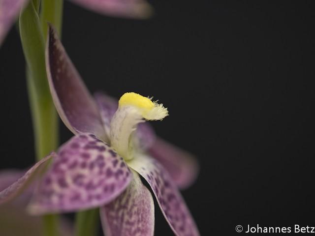 Thelymitra alcockiae X benthamiana-14.jpg
