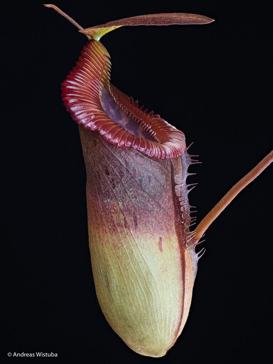 1317673829_Nepenthestenuisxedwardsiana-1.thumb.jpg.c5120ba8cab1ca7f8a0db6f25f338139.jpg
