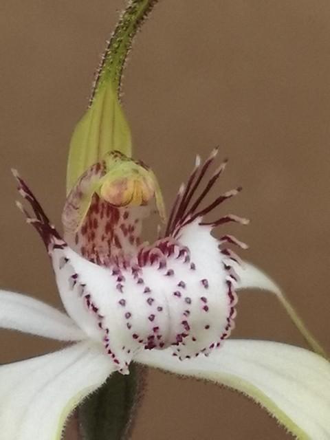 Caladenia longicauda-10.jpg