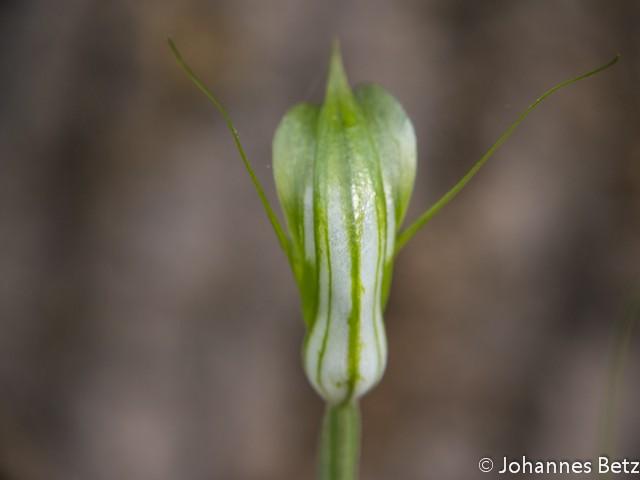 Diplodium obtusum_-17.jpg