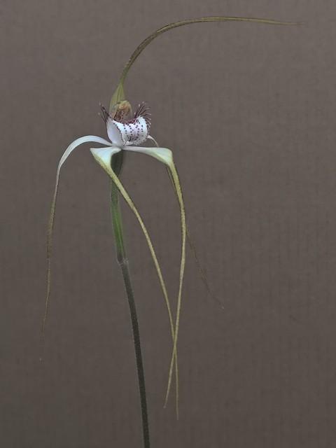 Caladenia longicauda.jpg