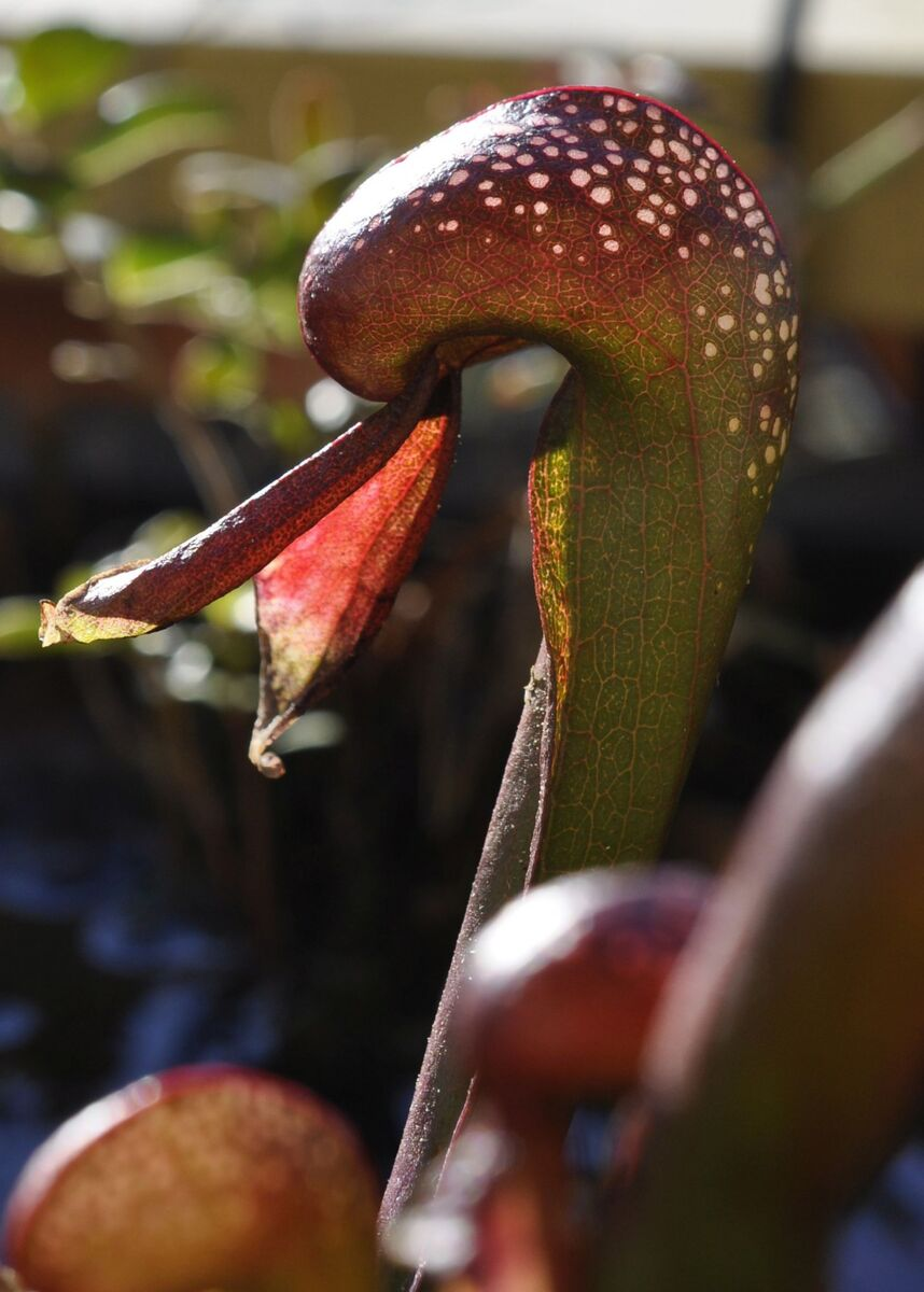 darlingtonia.thumb.jpg.d3be497976702cb1dc9b41adf6498337.jpg
