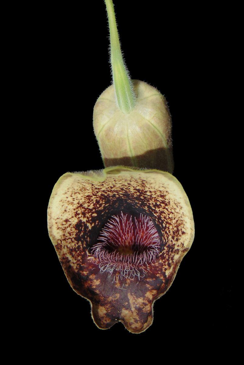 Aristolochia pontica 3.JPG