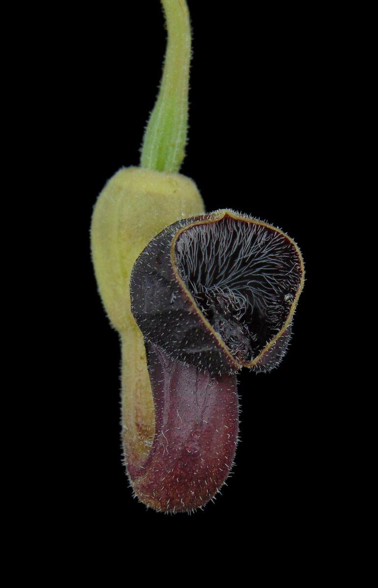 Aristolochia guichardii.JPG