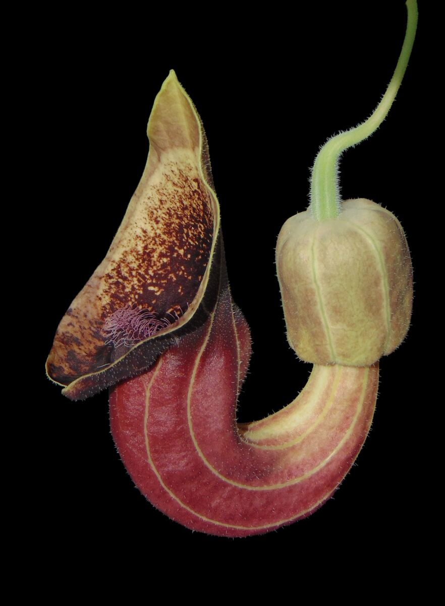 Aristolochia pontica 2.JPG