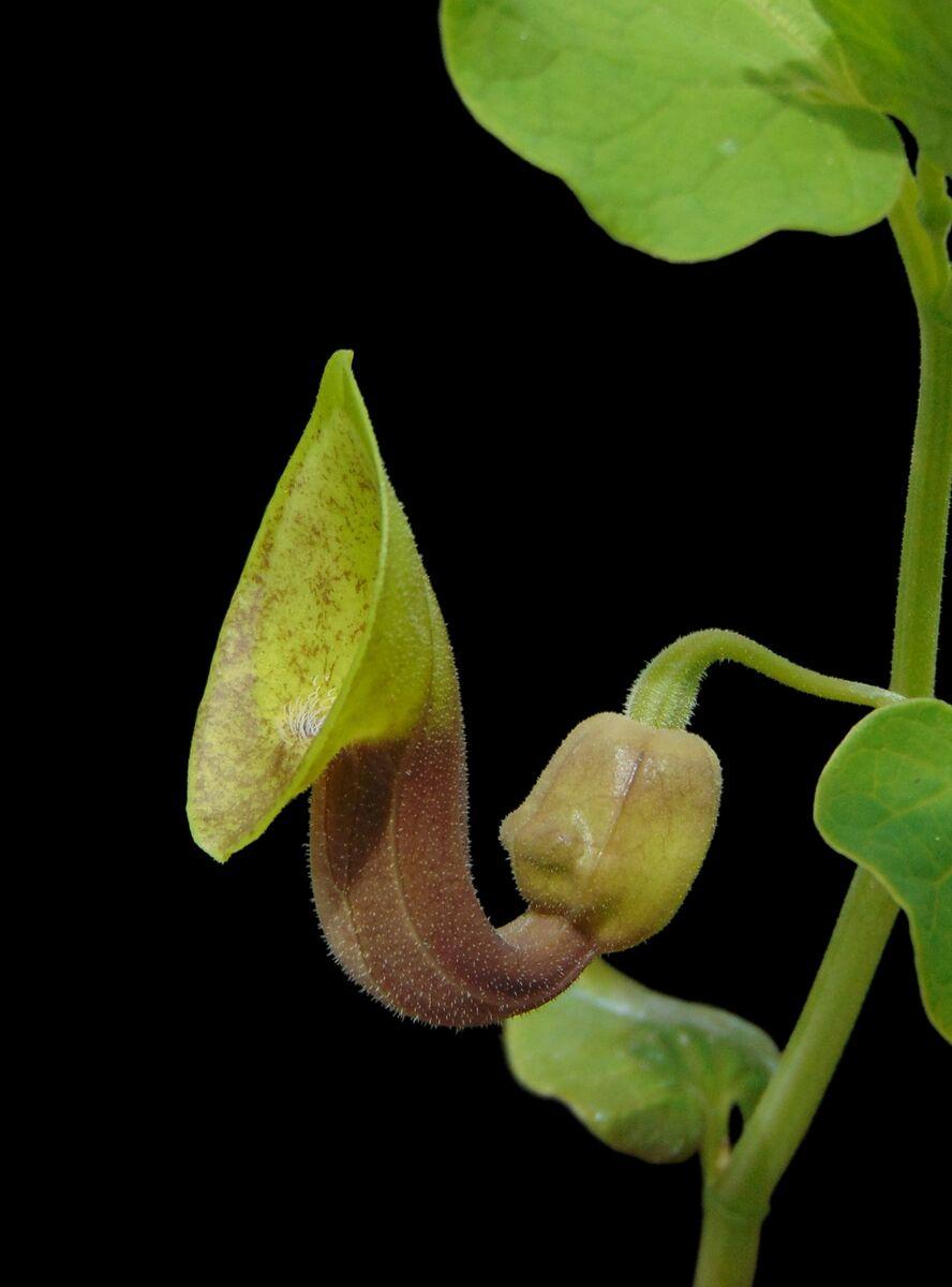 Aristolochia iberica (3).JPG